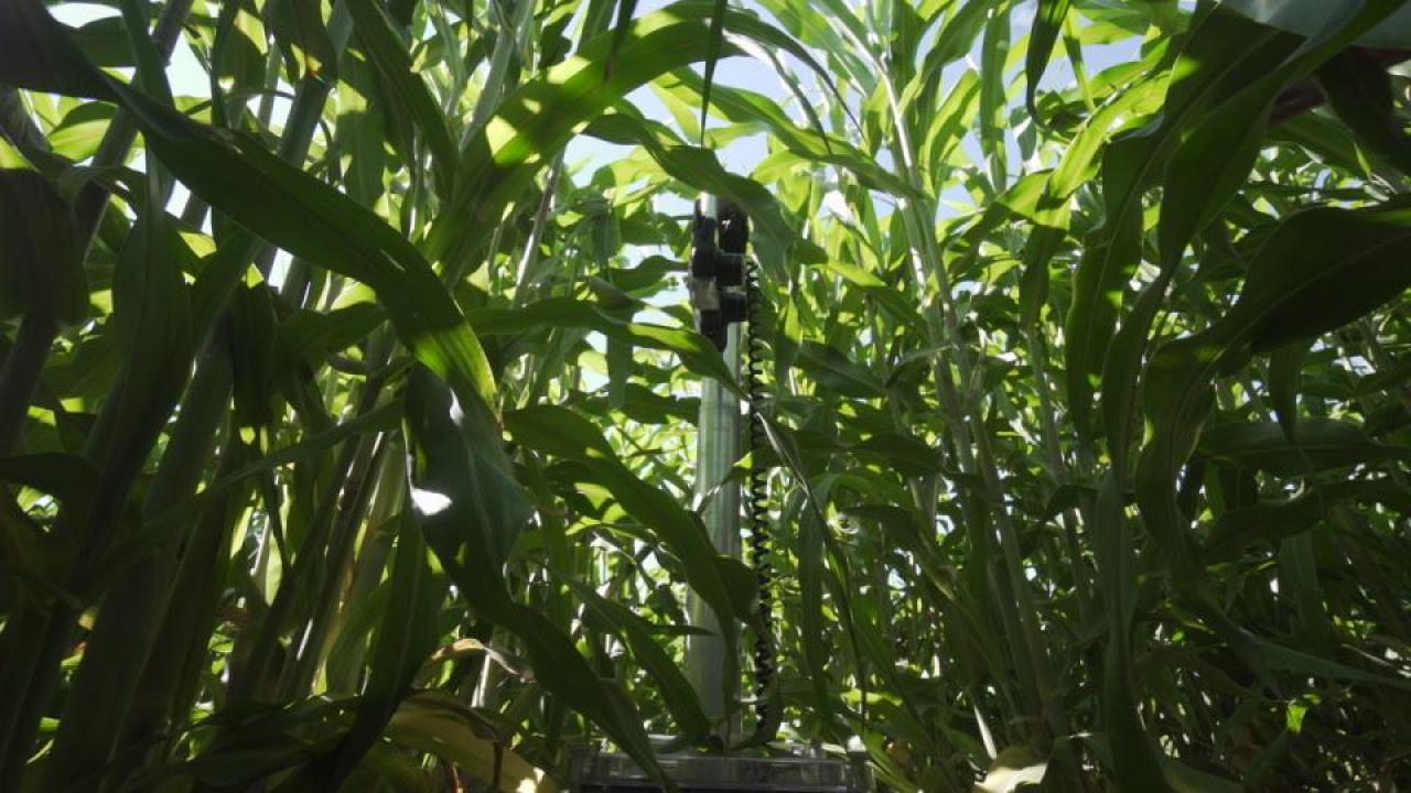 Robot in a field of sorghum