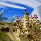 Mojave yucca grows near a solar facility in the Mojave Desert